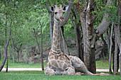 African giraffe laying on lawn, Zimbabwe.