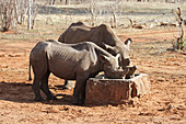Black rhinoceros eating food from a feeding trough, Victoria Falls Private Game Reserve Black Rhino Breeding Project, Zimbabwe.\n