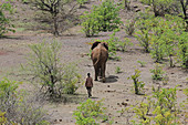 Young adult elephant and man walking, Victoria Falls National Park, Zimbabwe.