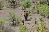 Young adult elephant and man walking, Victoria Falls National Park, Zimbabwe.