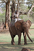 African elephant with game ranger riding a saddle/howdah on its back, Zimbabwe.\n
