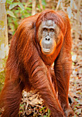 Indonesia, Borneo - June 27, 2009. A orangutan seen in the Tanjung Puting National Park in southern Borneo, Indonesia. (Photo credit: Gonzales Photo - Flemming Bo Jensen).