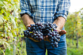 Grape harvesting in La Morra in the province of Piedmont, Italy. The best-known Piemonte wines are Barolo and Barbaresco in this region.