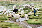 Peru - December 25, 2011: A boy with a herd of llamas.