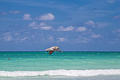 Fliegender Pelikan am Strand, Varadero, Kuba