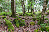 Wald im Killarney Nationalpark, Grafschaft Kerry, Irland, Europa