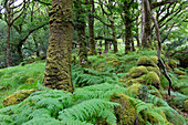Forest in Killarney National Park, County Kerry, Ireland, Europe