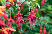 Fuchsia, Fuchsia sp., Dingle Peninsula, County Kerry, Ireland