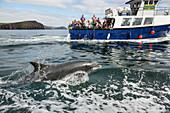 Dolphin Fungie, Tursiops truncatus, Dingle Dolphin Boat Tour, Dingle Peninsula, County Kerry, Ireland