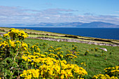 Sheep pastures and yellow flowers on the Dingle Peninsula, County Kerry, Ireland