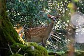 Fallow Deer, Cervus dama, Tomies Woods, Killarney National Park, County Kerry, Ireland, Europe
