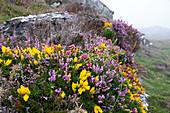 Heather Calluna vulgaris and gorse at Mizen Head, County Cork, Ireland
