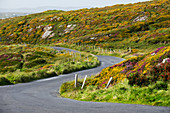 Curvy country road with flower meadows, Sky Road, Connemara region, County Galway, Ireland