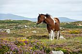 Connemara Pony, Equus ferus caballus, Connemara, County Galway, Ireland, Europe