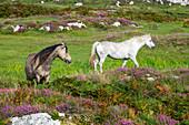 Connemara ponies, Equus ferus caballus, Connemara, County Galway, Ireland, Europe