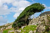 Windformed tree at Killary Fjord, Connemara, County Galway, Ireland