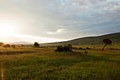 Sonnenaufgang in typischer Landschaft der Savanne, Nationalpark Masai Mara, Serengeti, Kenia