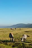 Zebras und Nashörner grasen in der Savanne, Lake-Nakuru-Nationalpark, Nakuru, Nakuru County, Kenia
