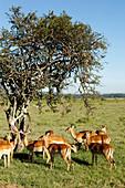 Impala Antilopen in der Savanne, Lake-Nakuru-Nationalpark, Nakuru, Nakuru County, Kenia