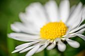 Blossom of a daisy, Bellis perennis, Chiemgau Alps, Upper Bavaria, Bavaria, Germany