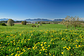 Dandelion meadow with Chiemsee and Chiemgau Alps in the background, Chiemgau, Upper Bavaria, Bavaria, Germany