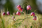 Pink blooming checkerboard flower, Fritillaria meleagris, Chiemseeradweg, Chiemgau, Upper Bavaria, Bavaria, Germany