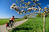 Woman cycling past blooming apple tree, Benediktradweg, Upper Bavaria, Bavaria, Germany