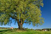 Large linden tree with church in the background, Benediktradweg, Upper Bavaria, Bavaria, Germany