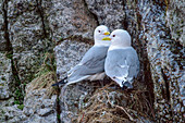 Two seagulls sit on a ledge, Lofoten, Nordland, Norway