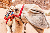 Portrait of a camel in the Wadi Rum desert, Jordan