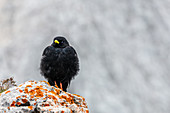 An alpine chough on the highest mountain in Styria, Dachstein, Austria