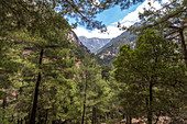 Coniferous forest descending into the Samaria Gorge, West Crete, Greece
