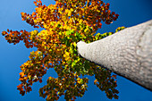 Looking up at the autumnal leaves of a deciduous tree