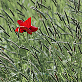 Corn poppy in the grass, Lower Saxony, Germany