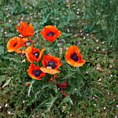 Poppy flowers in the field, Lower Saxony, Germany