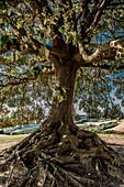 Old tree with roots, Buonconvento, Tuscany, Italy