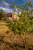 Apple tree with ripe fruit in front of a house, Buonconvento, Tuscany, Italy