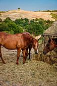 Horses in paddock, equestrian vacation, Buonconvento, Tuscany, Italy