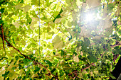 Sun shining through vine leaves, Italy