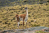 An attentive guanaco (Lama guanicoe) looks at the approach of another group of this species, near Puerto Natales, Magallanes y de la Antartica Chilena, Patagonia, Chile, South America