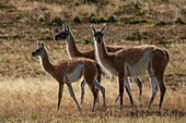 Three guanacos (Lama guanicoe) prick up their ears and listen carefully, Torres del Paine National Park, Magallanes y de la Antartica Chilena, Patagonia, Chile, South America
