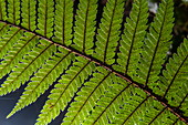 Backlit photo of a fern frond, Fiordland National Park, South Island, New Zealand