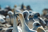 Two Australian gannets (Morus serrator) turtle together in the Cape Kidnappers colony, near Napier, Hawkes Bay, North Island, New Zealand