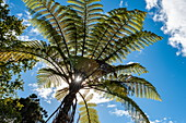 Backlit view of a tree fern (Sphaeropteris) against a mostly blue sky, Bay of Islands, North Island, New Zealand