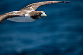 A juvenile masked gannet (Sula dactylatra) flies next to an expedition cruise ship at sea, near Colombia, Caribbean
