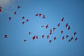A flock of scarlet ibises (Eudocimus ruber) flies against a mostly blue sky, Caroni Bird Sanctuary, Trinidad, Trinidad and Tobago, Caribbean