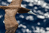 A brown gannet (Sula leucogaster) flies next to an expedition cruise ship, Atlantic Ocean, near Panama, Central America