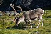 Mountain reindeer (Rangifer tarandus tarandus) runs across a carpet of grasses between rugged rocks, Alkhornet, Isfjord, Spitsbergen, Norway, Europe