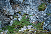 Young arctic foxes (Vulpes lagopus) frolic between rugged rocks near their den, Alkhornet, Isfjord, Spitsbergen, Norway, Europe