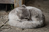 An arctic fox (Vulpes lagopus) rests next to the bar and hotel of this former coal mining town, where it occasionally receives snacks, pyramids, Billefjord, Spitsbergen, Norway, Europe